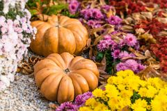 Les potirons et les chrysanthèmes oranges frais en automne font du jardinage Automne photo stock