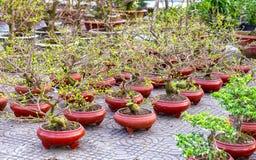 Les pots de fleur d'abricot dans le jardin Images stock