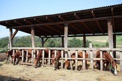 Les poulains et les juments mangent le foin dans le corral d'été Images stock