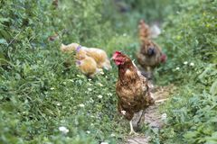 Les poules alimentent sur la basse-cour rurale traditionnelle au jour ensoleillé détail photographie stock libre de droits
