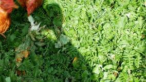 Les poules mangent des grains de blé au sol banque de vidéos