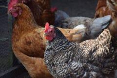 Les poulets à la ferme images stock