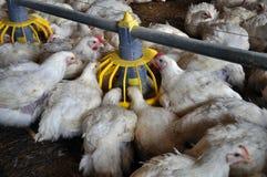 Les poulets à rôtir s'approchent de feeders_9 Image libre de droits