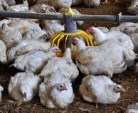 Les poulets à rôtir s'approchent des conducteurs images stock