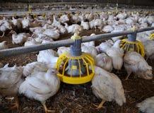 Les poulets à rôtir s'approchent des conducteurs Photographie stock libre de droits