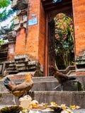Les poulets combattant au-dessus de la nourriture sur un temple fait un pas photo stock
