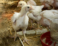 Les poulets développés photographie stock