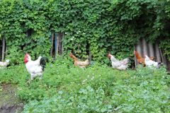 Les poulets et les coqs dans le ménage frôlent dans l'endroit indiqué photo libre de droits