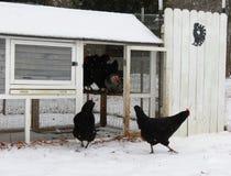 Les poulets laissent la cage à la merveille à travers la ferme couverte par neige image stock