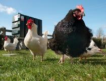 les poulets libèrent l'intervalle Images libres de droits