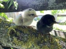 Les poulets pelucheux doux se repose sur une poutre en bois images libres de droits