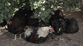 Les poulets se reposent sous Bush dans les ombres banque de vidéos