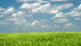Les pousses blondes comme les bl?s vertes sont dans le domaine et le beau nuageux Horizontal de source clips vidéos