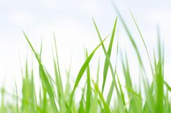 Les pousses feuillues vertes du jeune arbre des gisements de riz photos libres de droits