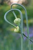 Les pousses mûres d'oignon ont entrelacé dans le concept de l'amour et de l'affection Image stock