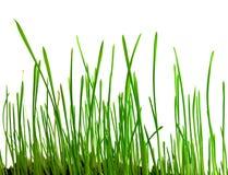 Les pousses vertes du blé Photos stock