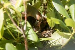 Les poussins cardinaux alimenté par la mère dans les oiseaux nichent Photographie stock