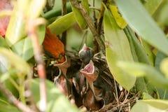 Les poussins de alimentation de burd cardinal masculin dans les oiseaux nichent Photo libre de droits