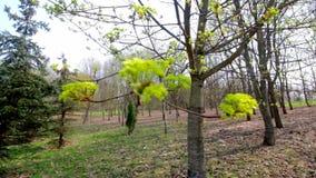 Les premières feuilles sur un balancement d'arbre dans le vent Stationnement de source banque de vidéos