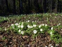 Les premières fleurs images stock