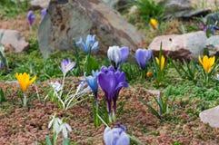 Les premières fleurs de ressort Images libres de droits