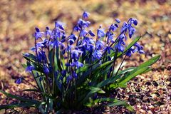 Les premières fleurs de ressort en Sibérie photographie stock libre de droits