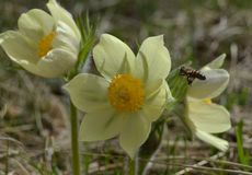 Les premières fleurs de ressort, sommeil-herbe images libres de droits