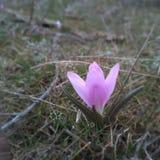 Les premières fleurs de source Image stock
