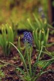 Les premières fleurs et herbe de source Photos stock