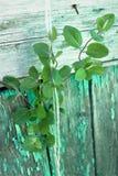 Les premières pousses du liseron vert sur le fond du vieux mur en bois images libres de droits