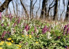 les primevères sont au printemps très belles dans la forêt photo stock