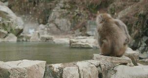 Les promenades de singe de neige le long onsen le bord et puis les arrêts et les éraflures banque de vidéos