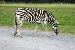 Les promenades des burchell d'Equus de zèbre sur la route dans le zoo extérieur naturel en Thaïlande images libres de droits