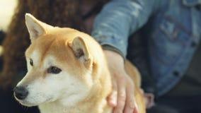 Les propriétaires affectueux du chien d'inu de shiba sont choyants et embêtants leur animal familier touchant sa tête et cou tand clips vidéos