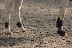 Les protections en cuir pour des jambes et des boules des chevaux antérieurs et postérieurs ont installé avec la cloche de sabot Image libre de droits