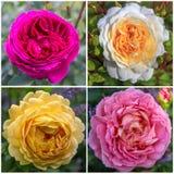 Les quatre anglais ont monté dans le jardin un jour ensoleillé - pourpre, blanc, jaune, rose Photo libre de droits