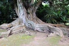 Les racines énormes d'air du ficus et du x28 ; banyan& x29 ; dans le jardin botanique sur l'île de San Miguel Photos libres de droits
