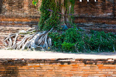 Les racines, Ayuthaya, Thaïlande Photo stock