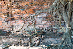Les racines, Ayuthaya, Thaïlande photos stock