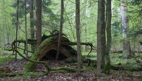 Les racines cassées d'arbre ont en partie diminué sur le fond de forêt photographie stock libre de droits