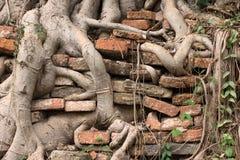 Les racines creusent le mur Photos stock