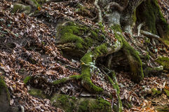 Les racines d'arbre image libre de droits