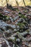 Les racines d'arbre photographie stock libre de droits