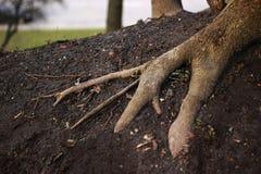 Les racines d'arbre Images libres de droits