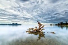Les racines d'arbre jugent fort sur le lac Photo stock