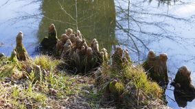 Les racines d'arbre se développent dans un petit lac vers le haut, maison drôle d'elfes image stock