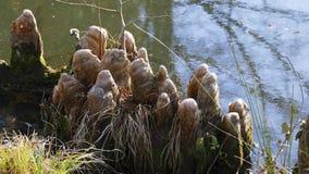 Les racines d'arbre se développent dans un petit lac vers le haut, maison drôle d'elfes images libres de droits