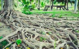 Les racines d'arbre sont beaucoup de branches Images stock