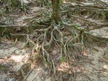 Les racines d'un arbre tropical photographie stock libre de droits