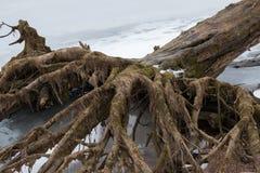 Les racines d'un grand vieil arbre aiment une main terrible avec des doigts Photographie stock